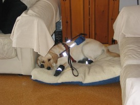 Pastora On A Bed With Booties And Harness Home From A Snow Walk
