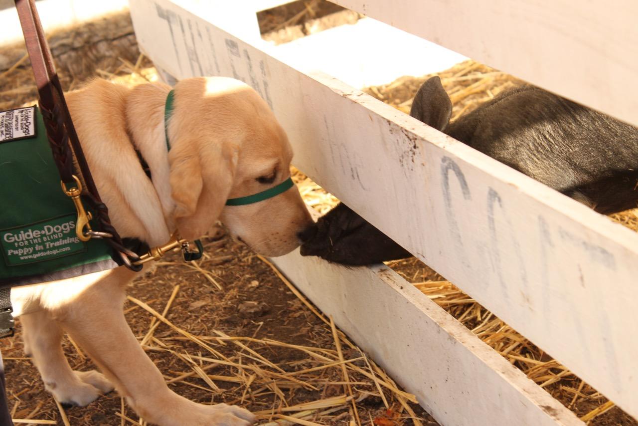 Amari and pig