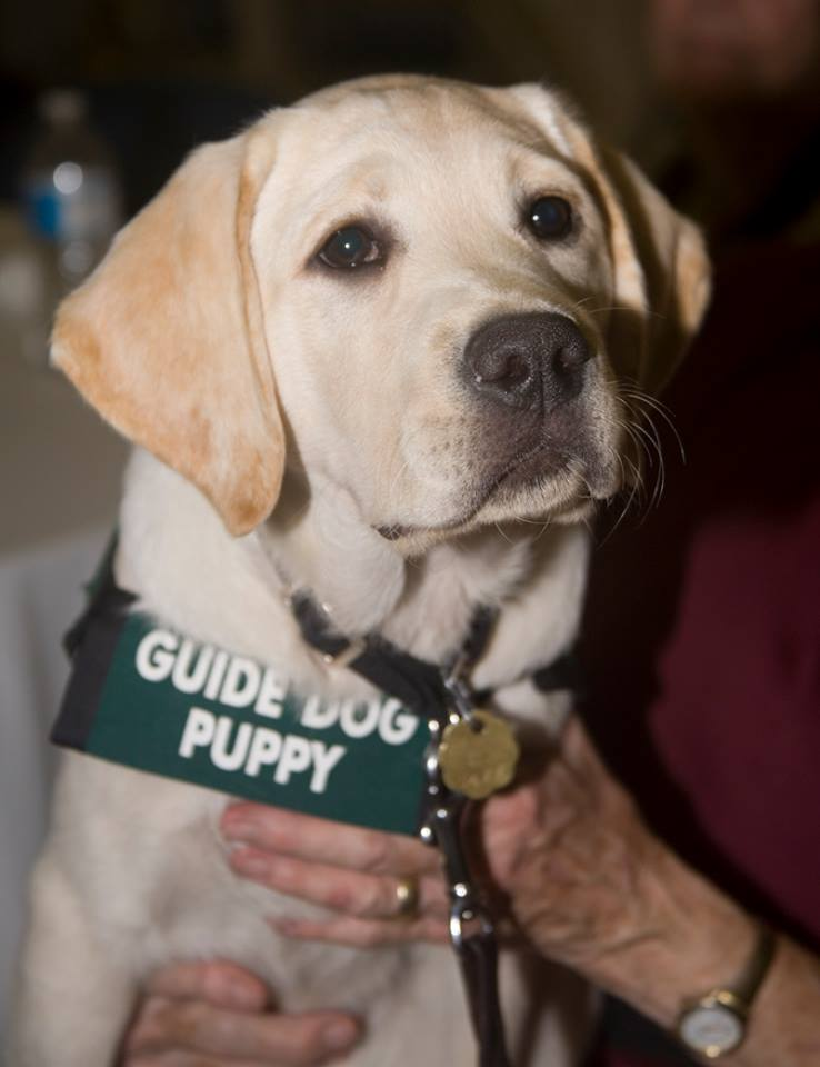 Velma at Paws of Fame 2016-10-29 Puppy Raiser Appreciation luncheon