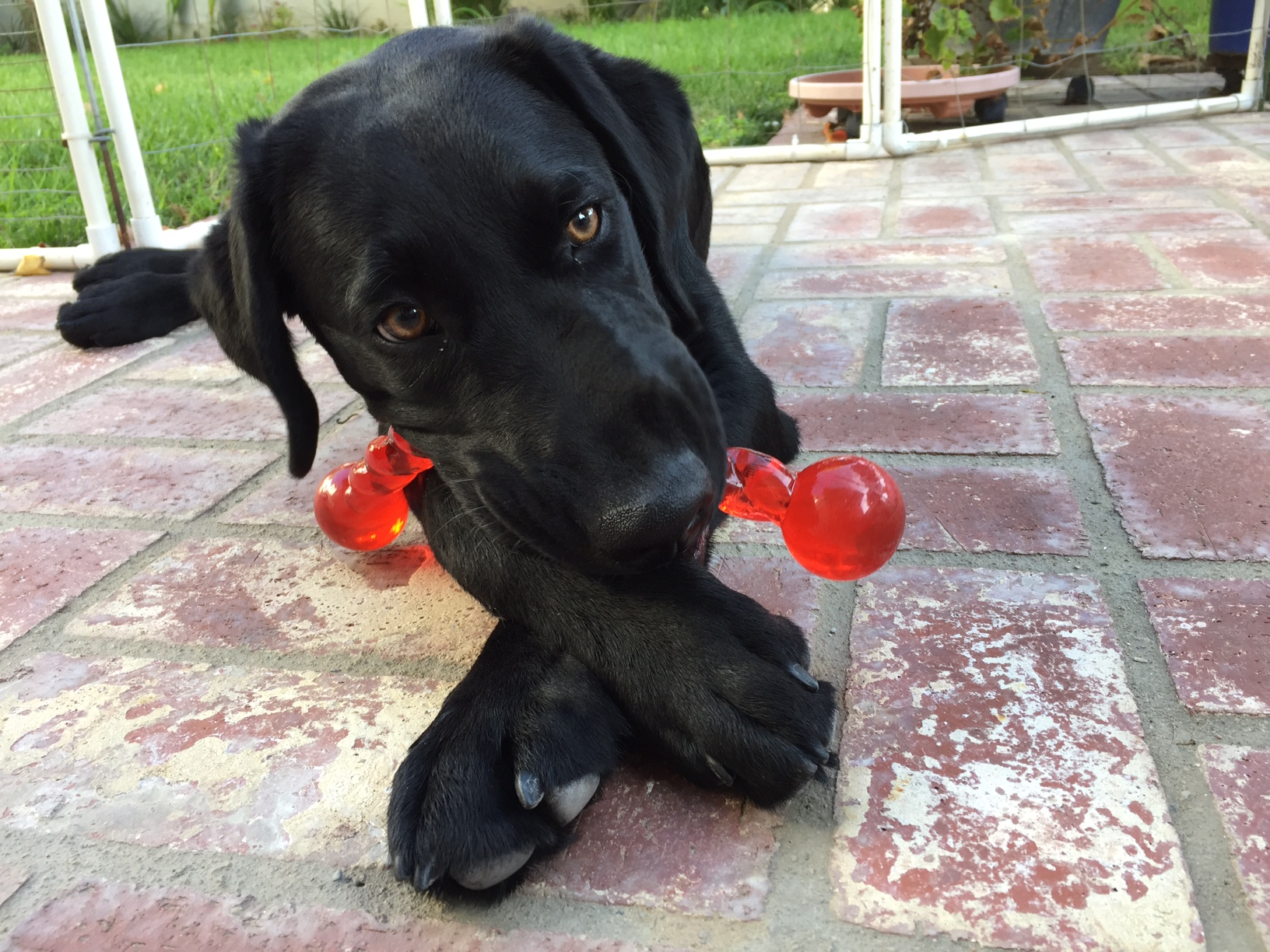 Dash with a new Kong toy