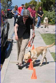 Following the handler while weaving between cones